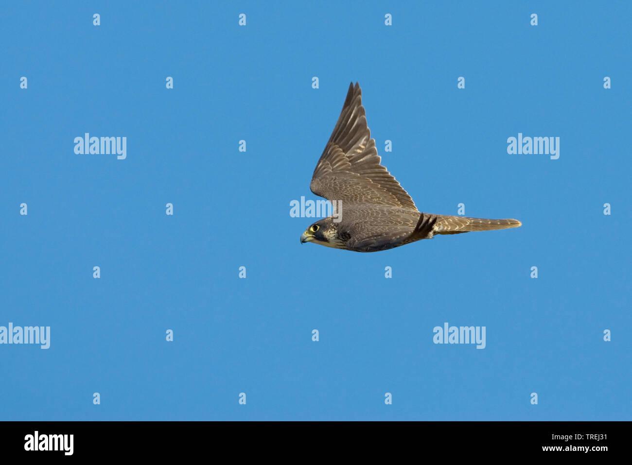 Wanderfalke, Wander-Falke (Falco peregrinus), im Flug, Italien   peregrine falcon (Falco peregrinus), in flight, Italy, Tuscany   BLWS527269.jpg [ (c) - Stock Image