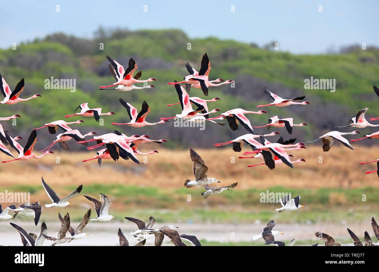 Zwergflamingo, Zwerg-Flamingo (Phoeniconaias minor, Phoenicopterus minor), auffliegender Trupp, Suedafrika | Lesser flamingo (Phoeniconaias minor, Pho - Stock Image