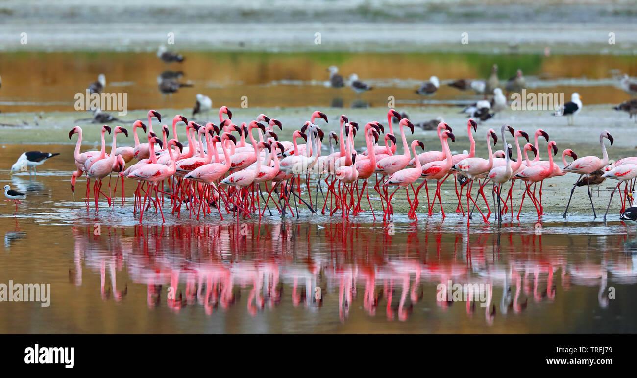 Zwergflamingo, Zwerg-Flamingo (Phoeniconaias minor, Phoenicopterus minor), Trupp im Flachwasser, Suedafrika | Lesser flamingo (Phoeniconaias minor, Ph - Stock Image