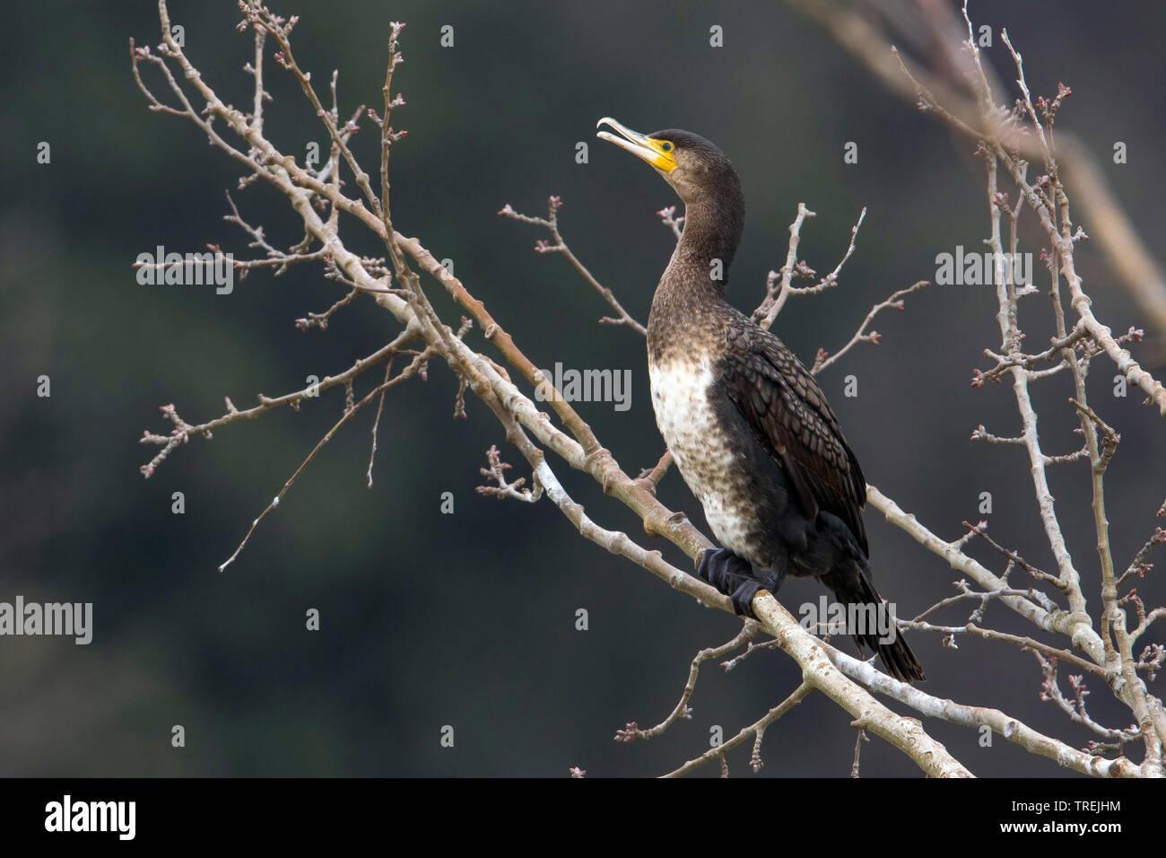 Chinesischer Kormoran (Phalacrocorax carbo sinensis, Phalacrocorax sinensis), sitzt auf einem Baum, Italien | Chinese great cormorant (Phalacrocorax c - Stock Image