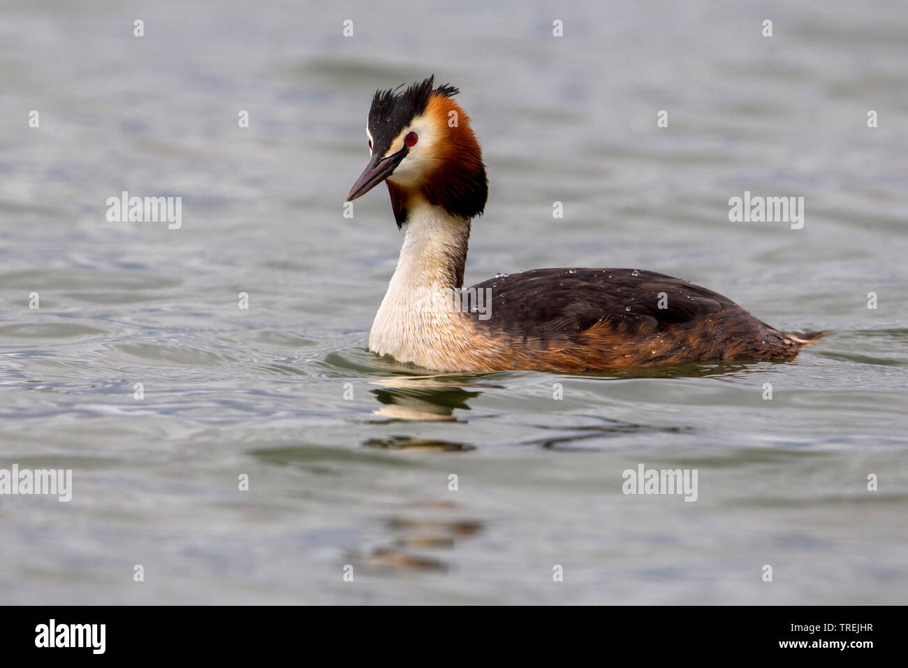great crested grebe (Podiceps cristatus), swimming, Italy, Firenze Stock Photo
