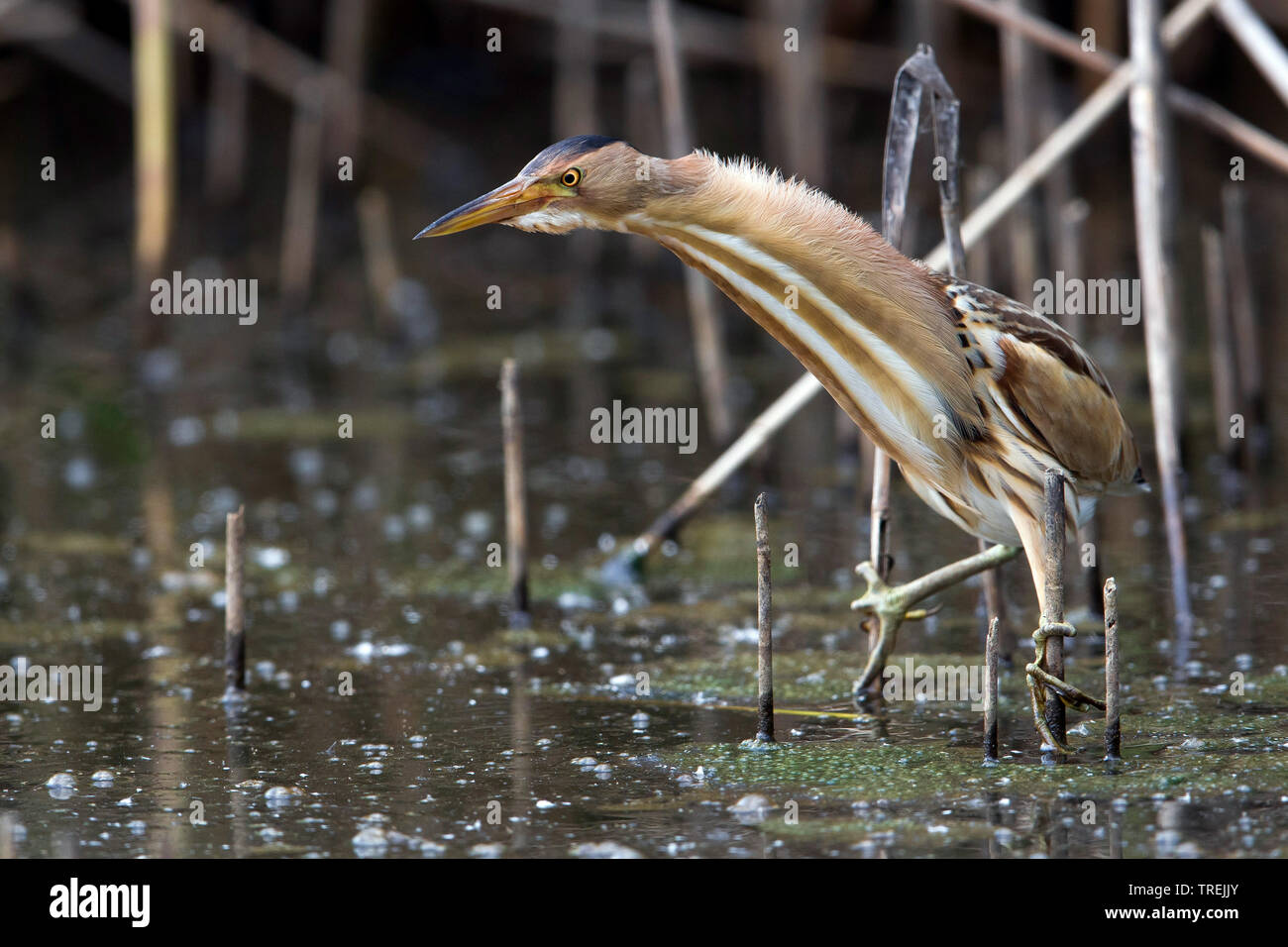 Zwergdommel, Zwerg-Dommel, Zwergrohrdommel, Zwerg-Rohrdommel (Ixobrychus minutus), lauernd im Schilfroehricht, Italien | Little bittern (Ixobrychus mi - Stock Image