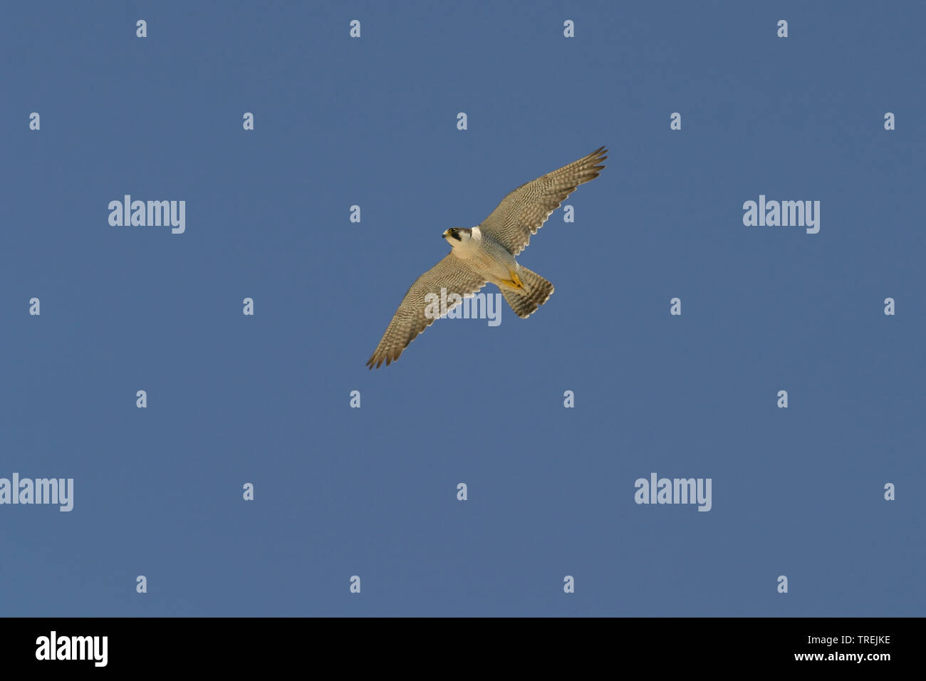 Wanderfalke, Wander-Falke (Falco peregrinus), im Flug, Italien   peregrine falcon (Falco peregrinus), in flight, Italy   BLWS527704.jpg [ (c) blickwin - Stock Image