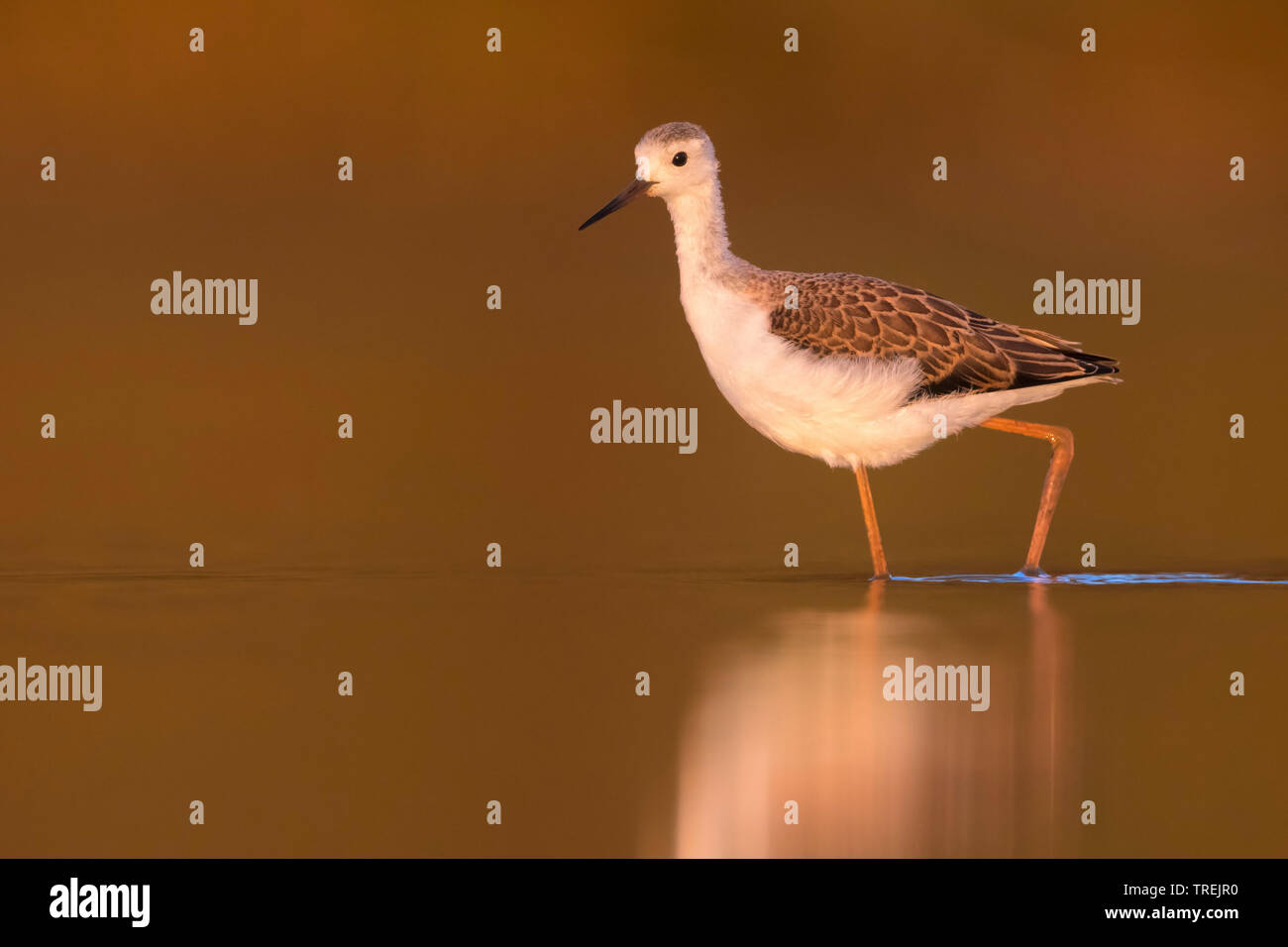 black-winged stilt (Himantopus himantopus), young bird wading in shallow water, Italy Stock Photo
