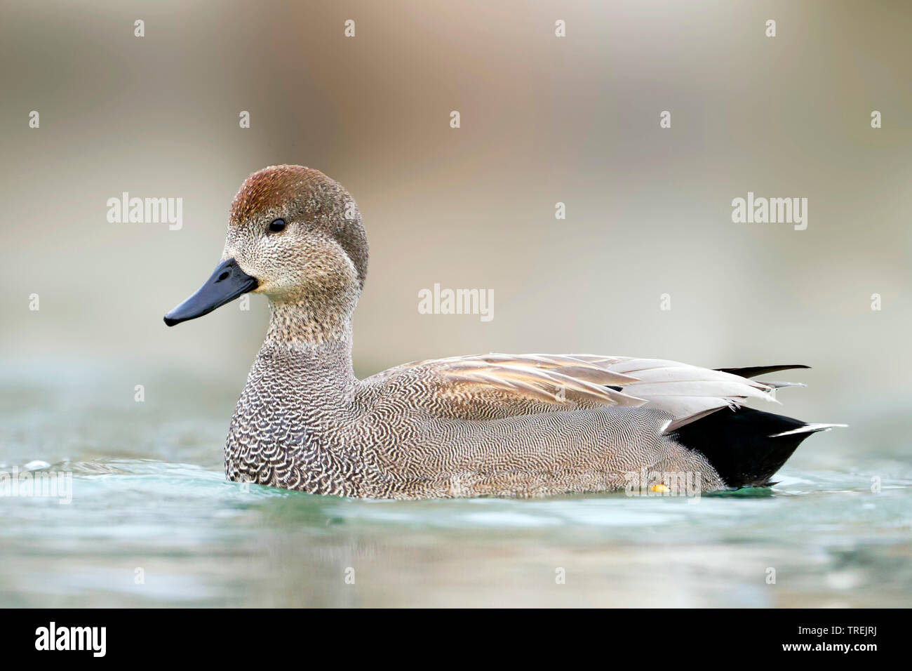 gadwall (Anas strepera, Mareca strepera), adult male swimming , Switzerland Stock Photo