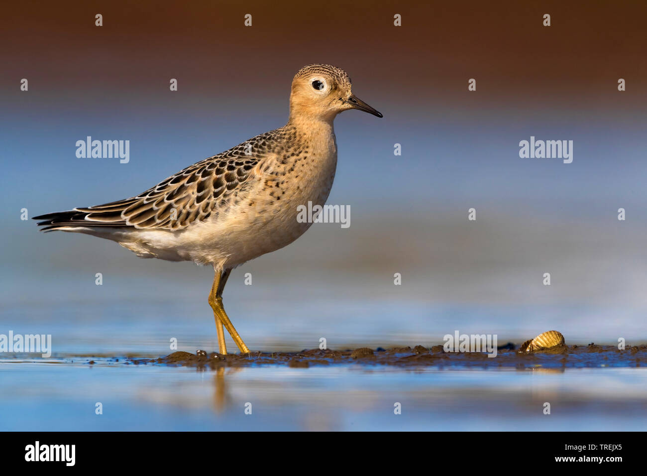 Graslaeufer (Tryngites subruficollis), steht im Flachwasser, Italien | buff-breasted sandpiper (Tryngites subruficollis), standing in shallow water, I - Stock Image