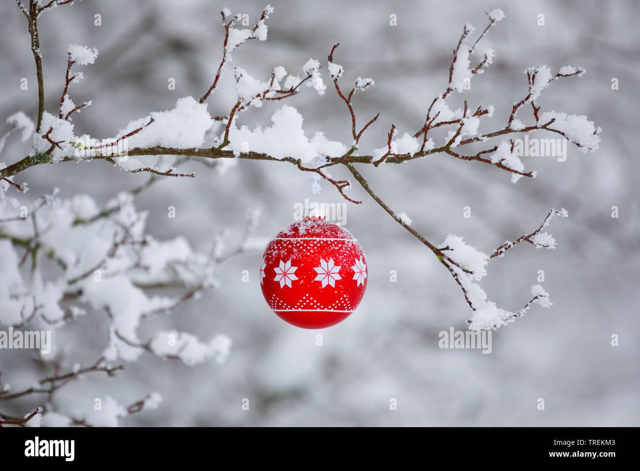 Weihnachtskugel an einem verschneiten Ast, Schweiz   Christmas ball at a snow-covered branch, Switzerland   BLWS528483.jpg [ (c) blickwinkel/P. Frisch - Stock Image