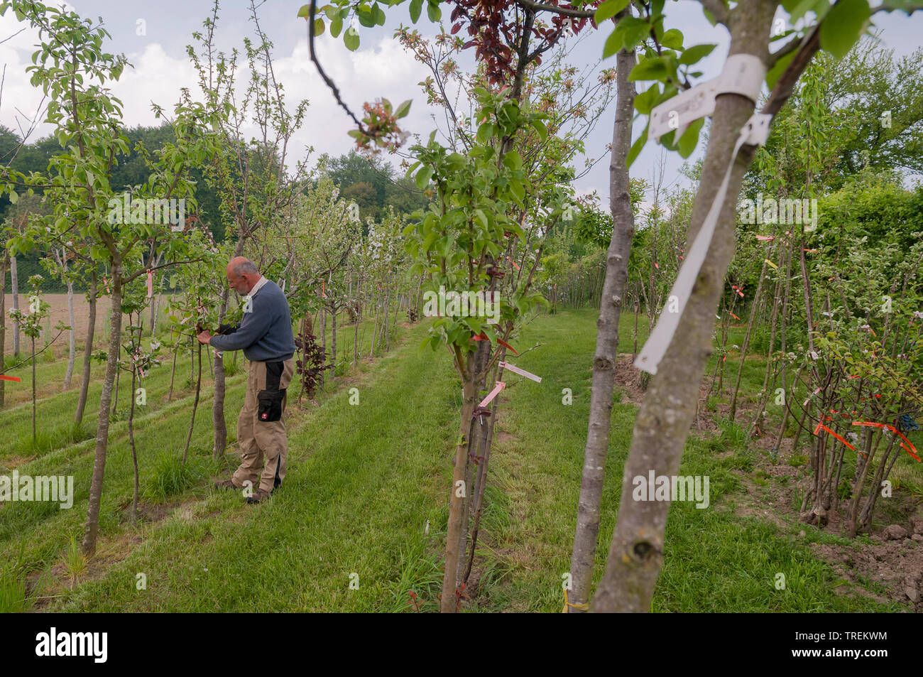 Apfelbaum, Kultur-Apfel, Kulturapfel (Malus domestica), Gaertner kontrolliert Obstbaeume in einer Baumschule, Deutschland | apple tree (Malus domestic - Stock Image