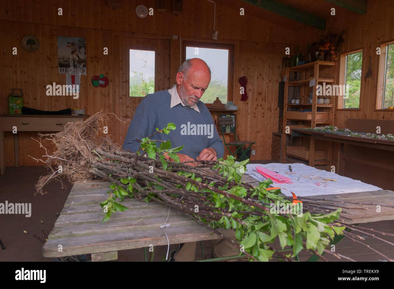 Apfelbaum, Kultur-Apfel, Kulturapfel (Malus domestica), Gaertner bereitet Wurzelware fuer den Verkauf vor, Deutschland | apple tree (Malus domestica), - Stock Image