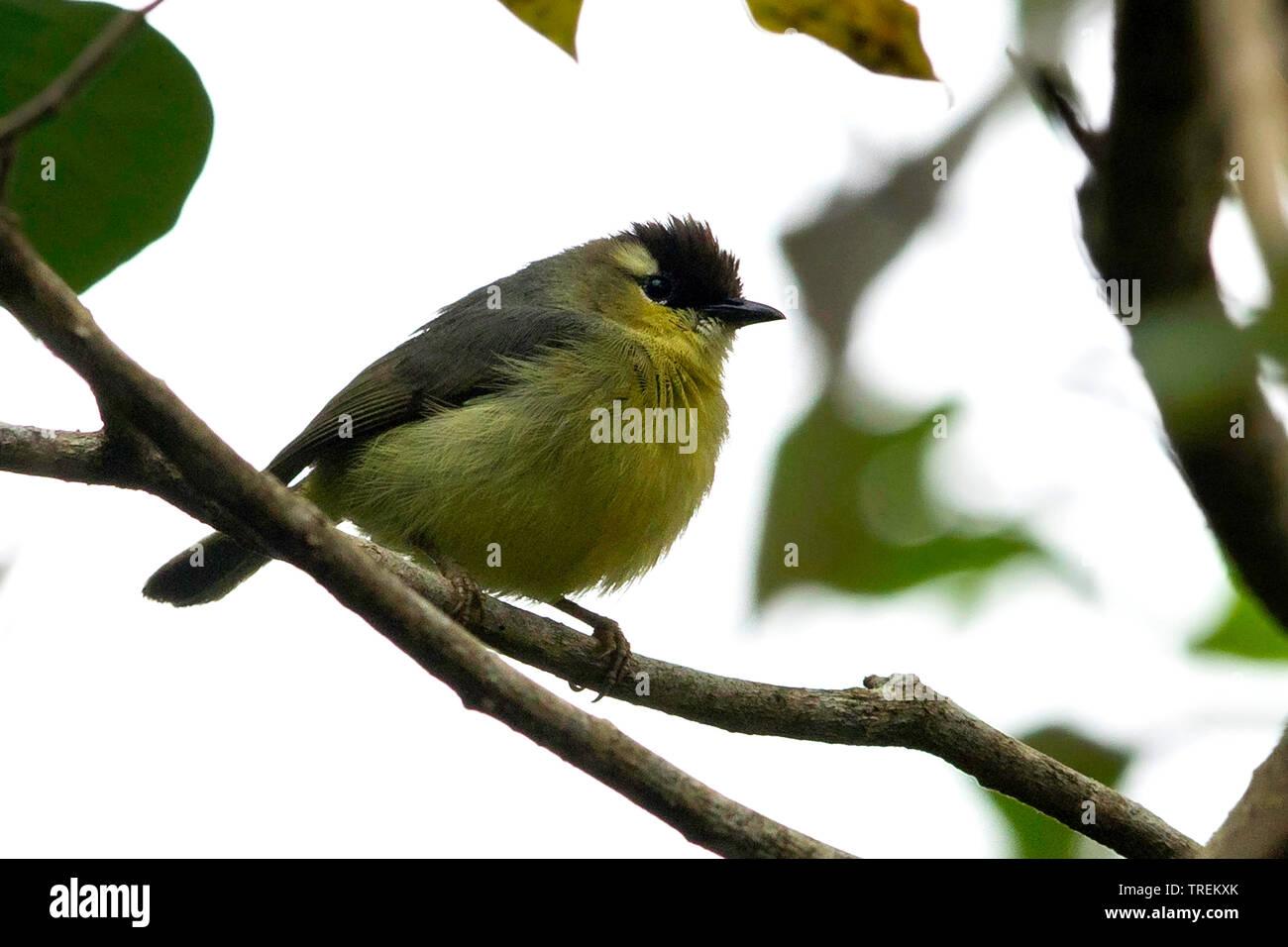 Schopfbrillenvogel, Schopf-Brillenvogel (Lophozosterops dohertyi), endemisch auf Sumbawa und Flores, Indonesien, Lesser Sunda Islands | crested white- - Stock Image