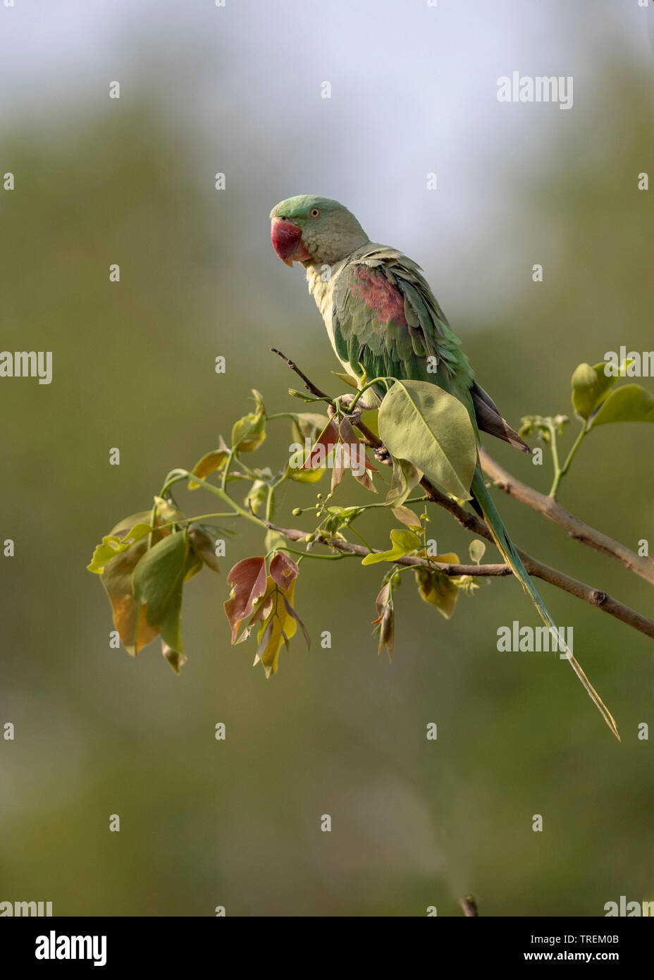 Alexandrine parakeet  also known as the Alexandrine parrot - Stock Image
