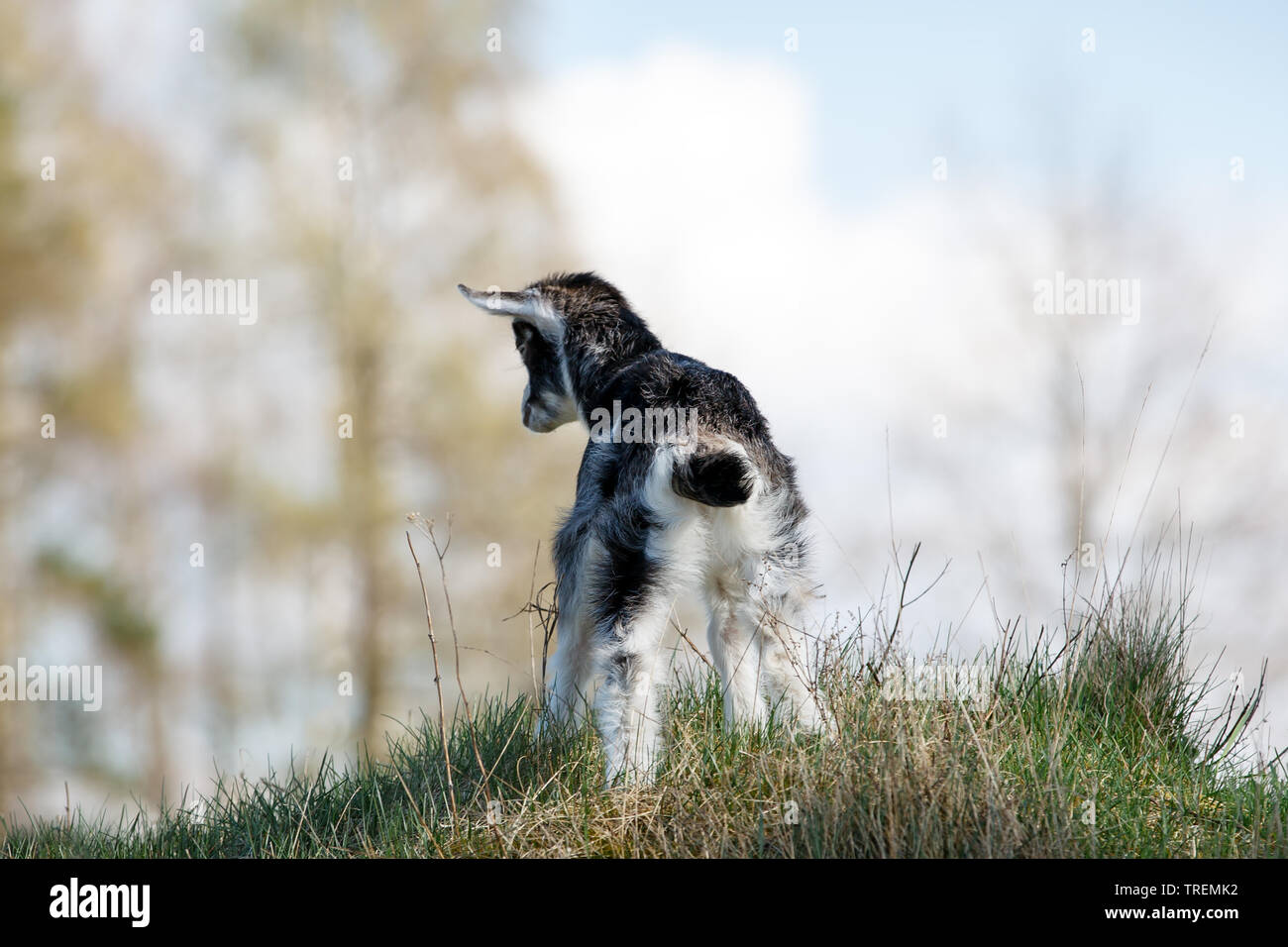 Young white goatling on the hill in the blue sky background looking to the clouds - Stock Image