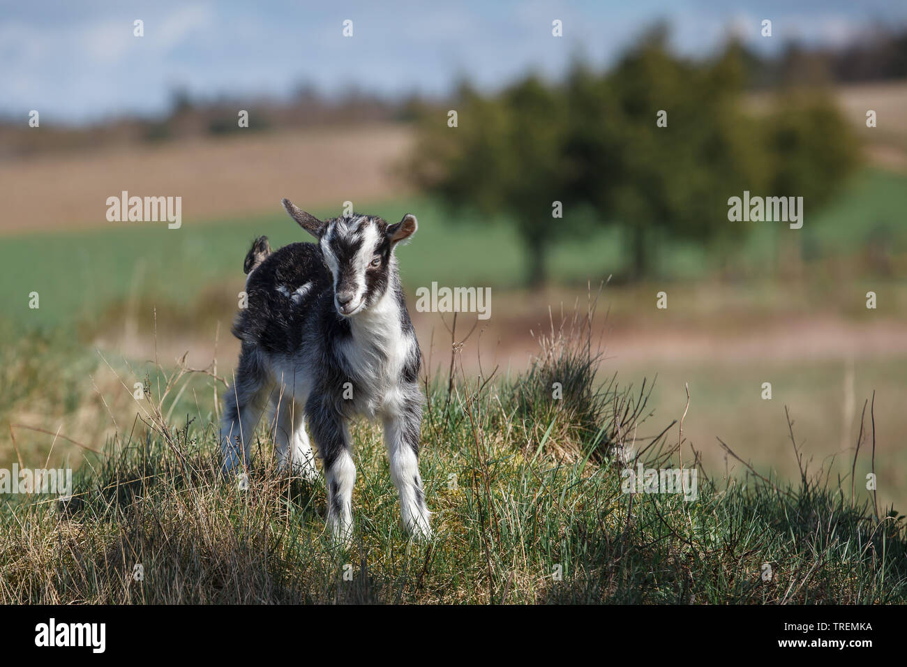 Young white and black goatling on the hill in the landscape background - Stock Image