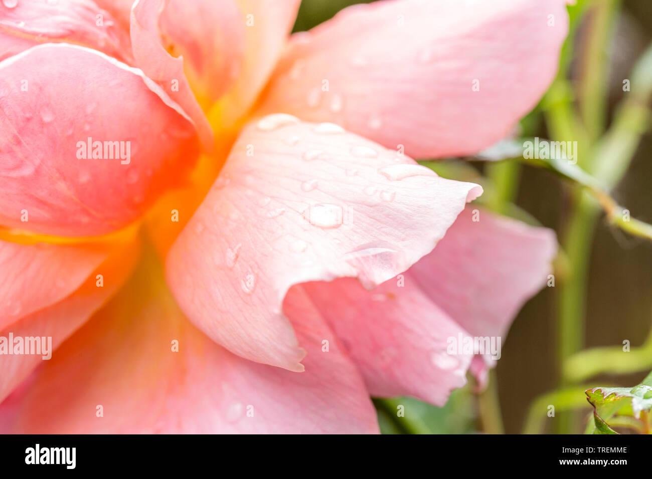 Close-up/macro of a peachy colored rose petal after rain. - Stock Image