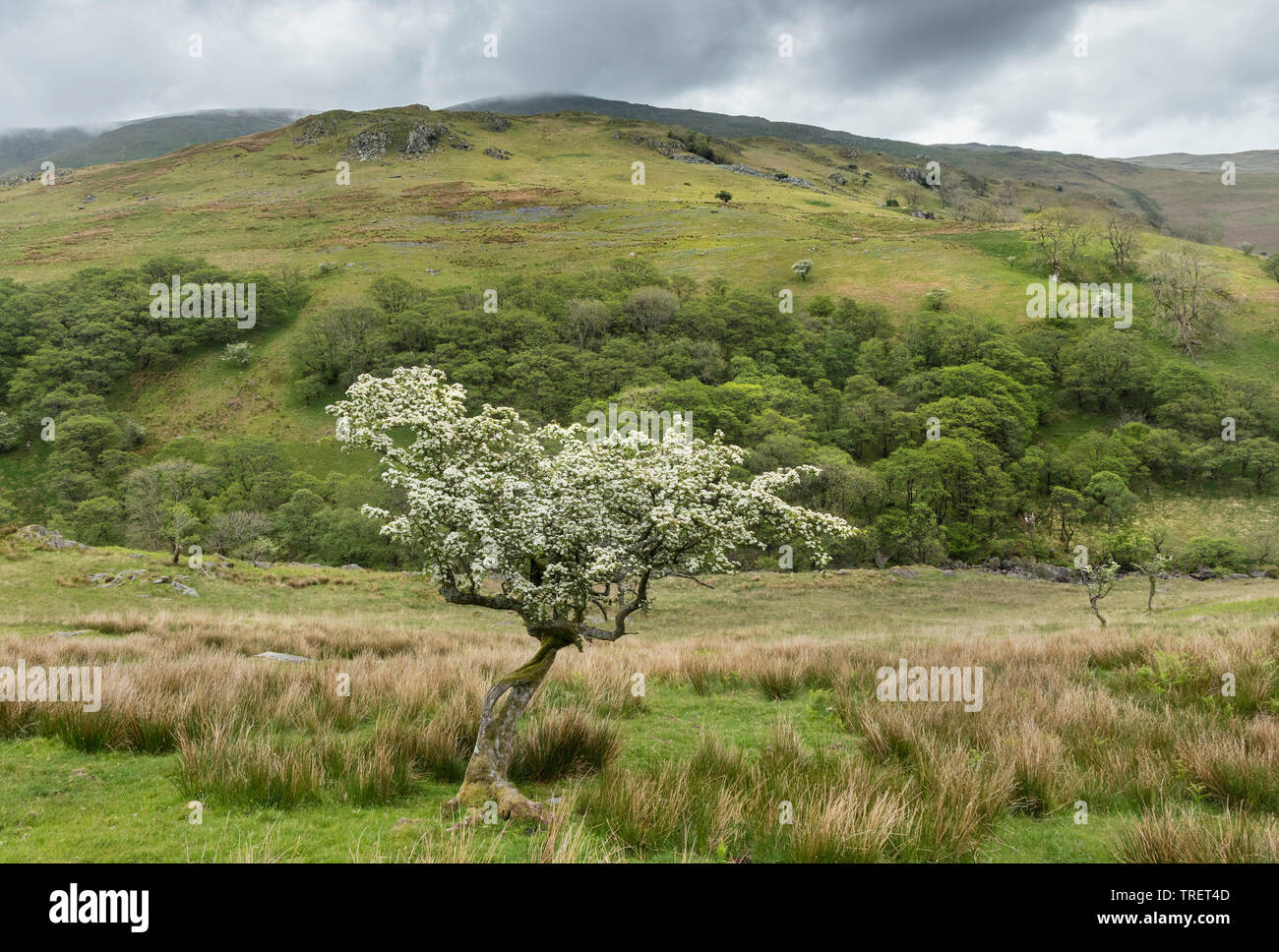 Flowering Hawthorn Tree Below the Hill of Troutbeck Tongue, Lake District, Cumbria, UK - Stock Image