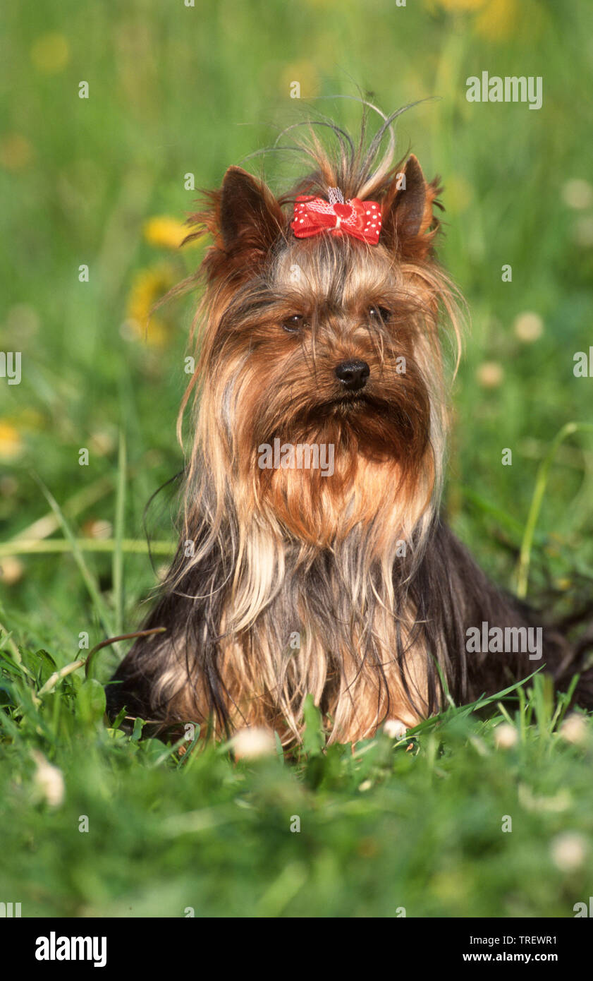 Yorkshire Terrier. Adult dog sitting on a meadow, wearing a red bow with polka dots. Germany Stock Photo