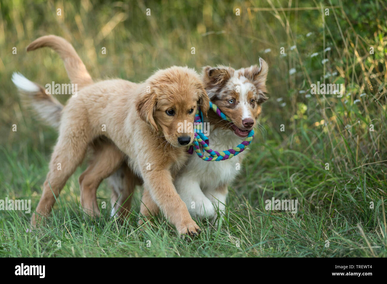 Australian Shepherd puppy and Golden Retriever puppy playing with multicoloured rope. Germany - Stock Image