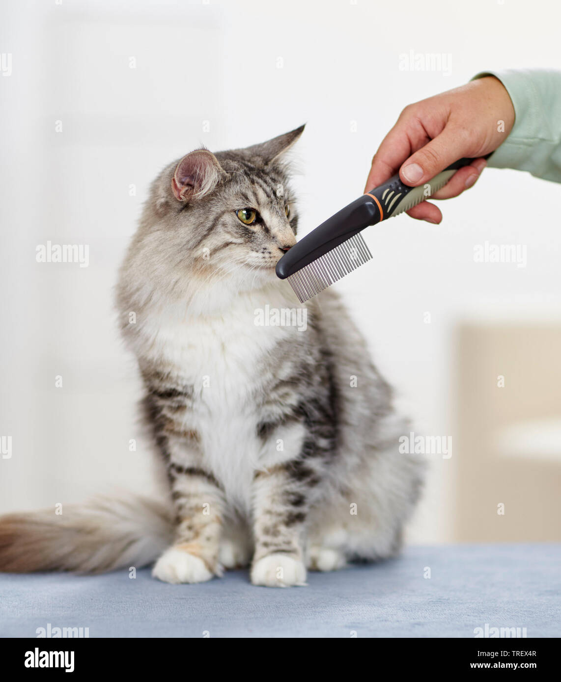 Norwegian Forest Cat. Adult sitting, sniffing at a comb. Germany - Stock Image