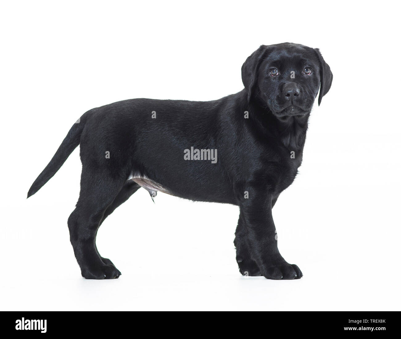 Labrador Retriever. Puppy standing, seen side-on. Studio picture against a white background. Germany.. - Stock Image