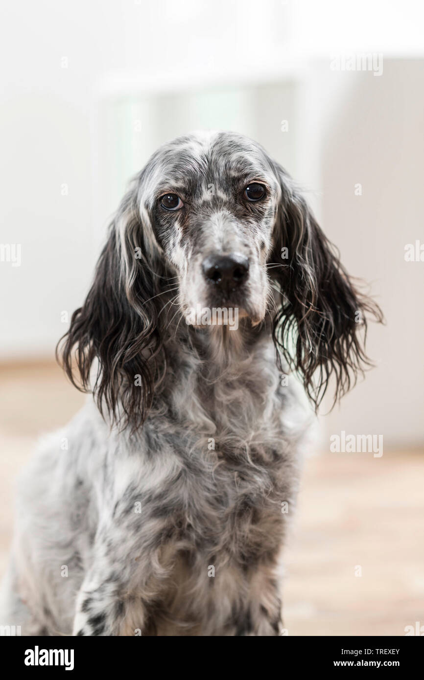 English Setter. Portrait of adult dog in a room Germany Stock Photo