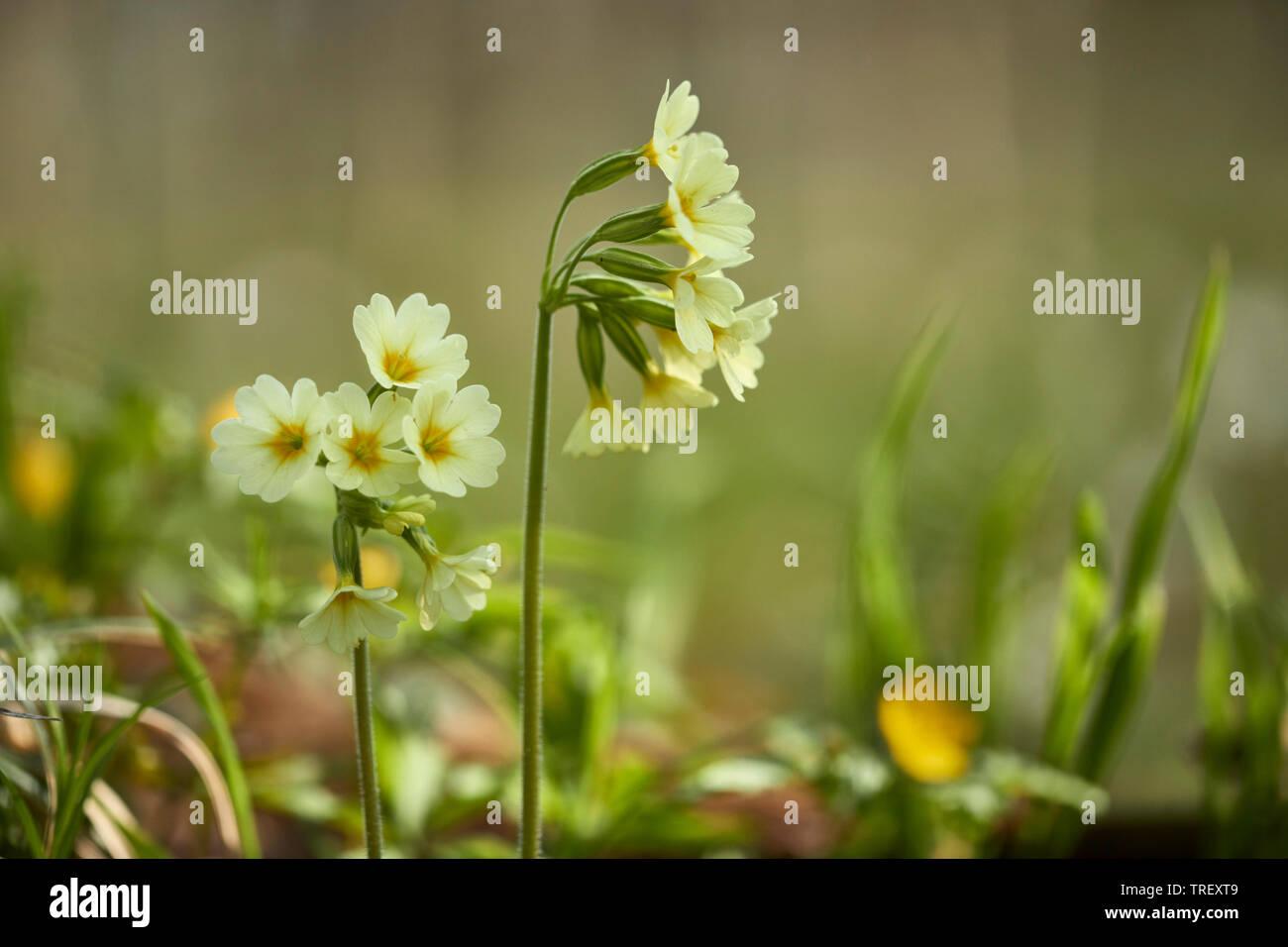 Common Cowslip (Primula veris), flowering plants. Germany Stock Photo