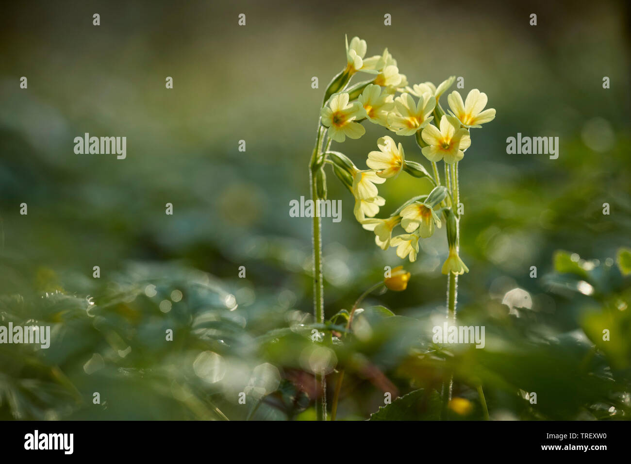 Common Cowslip (Primula veris), flowering plant in backlight. Germany Stock Photo