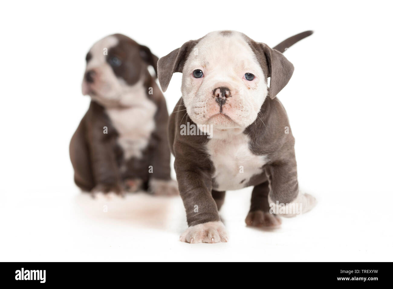 English Bulldog. Puppy walking towards the camera. Studio picture against a white background. Germany - Stock Image