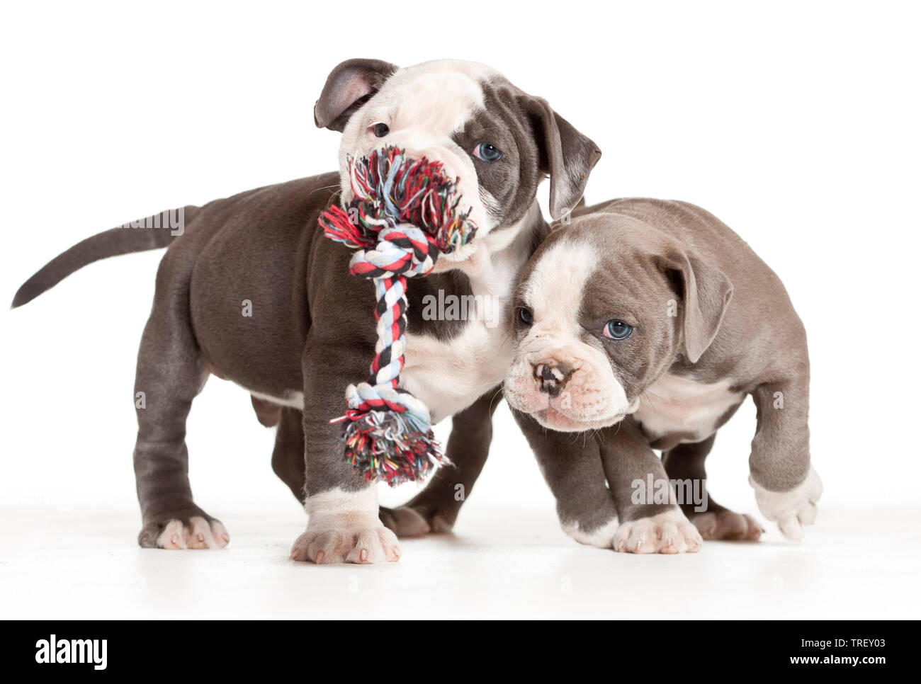English Bulldog. Two puppies playing with a toy rope. Studio picture against a white background. Germany - Stock Image