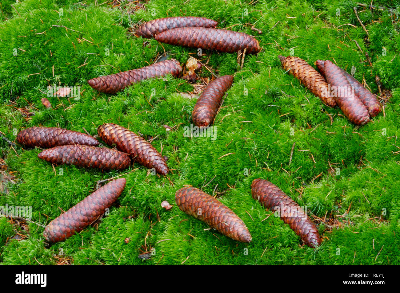 Common Spruce, Norway Spruce (Picea abies), cones lying on the forest floor. Germany Stock Photo