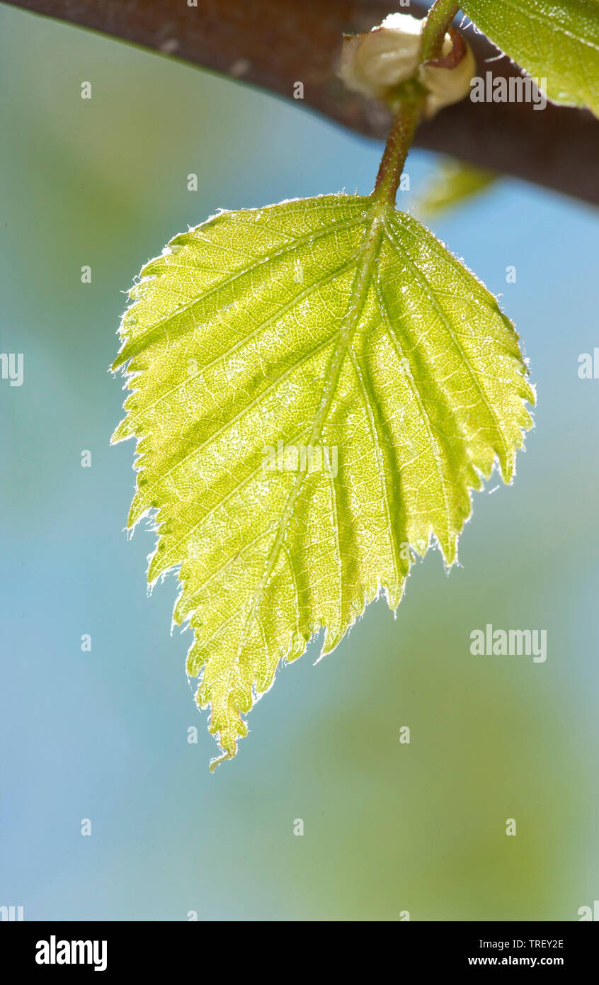 European White Birch, Silver Birch (Betula pendula, fresh leaf on a twig. Germany - Stock Image