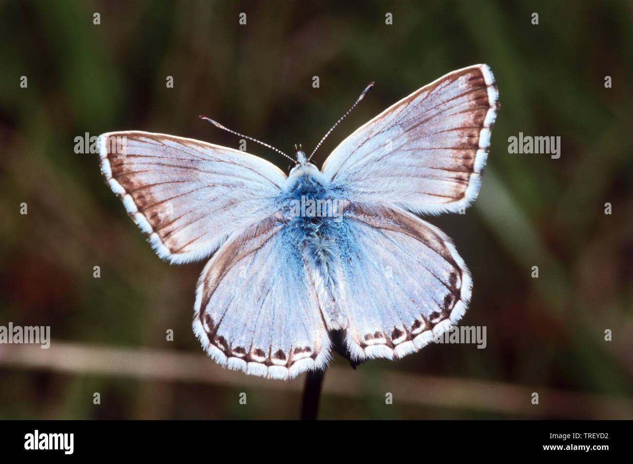 Chalkhill Blue (Polyommatus coridon). Butterfly on a stalk. Germany - Stock Image