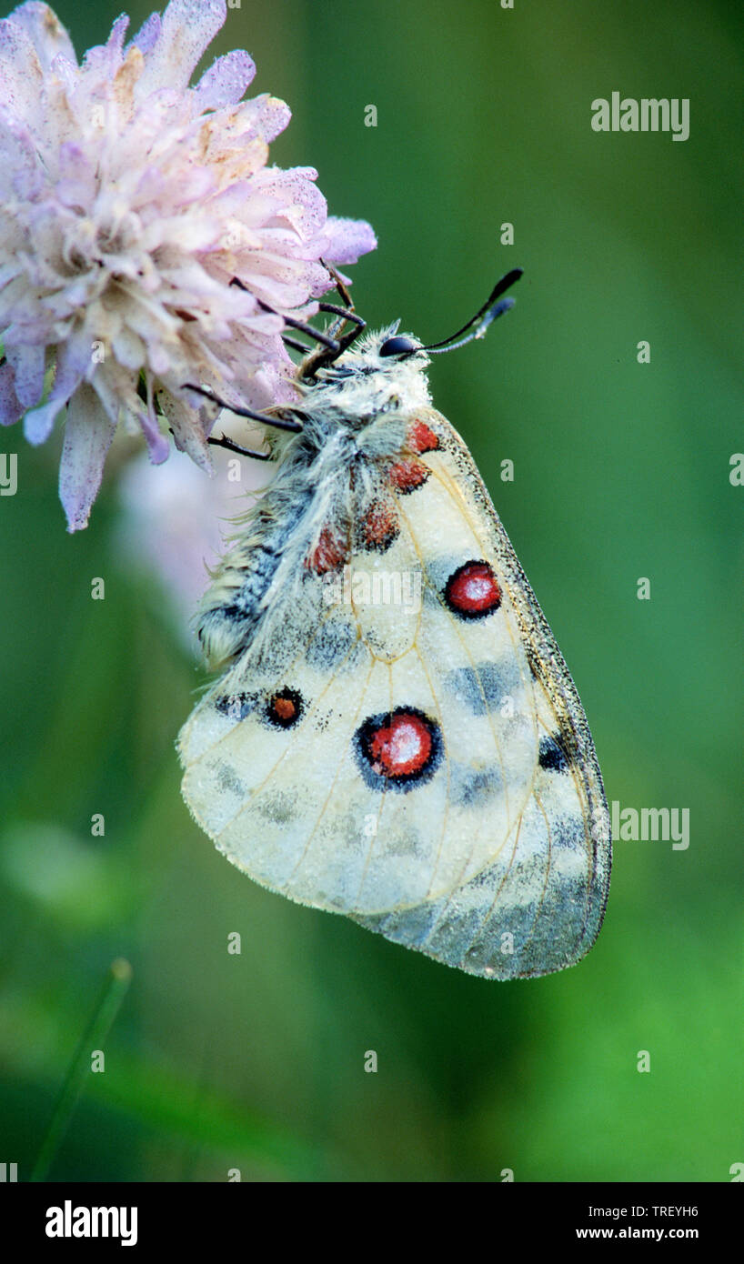 Mountain Apollo (Parnassius apollo). Butterfly on a flower. Germany - Stock Image
