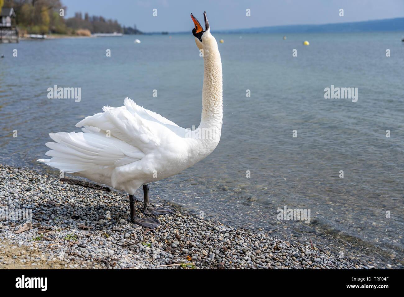 White swan in water scene, frankfurt, hesse, germany - Stock Image