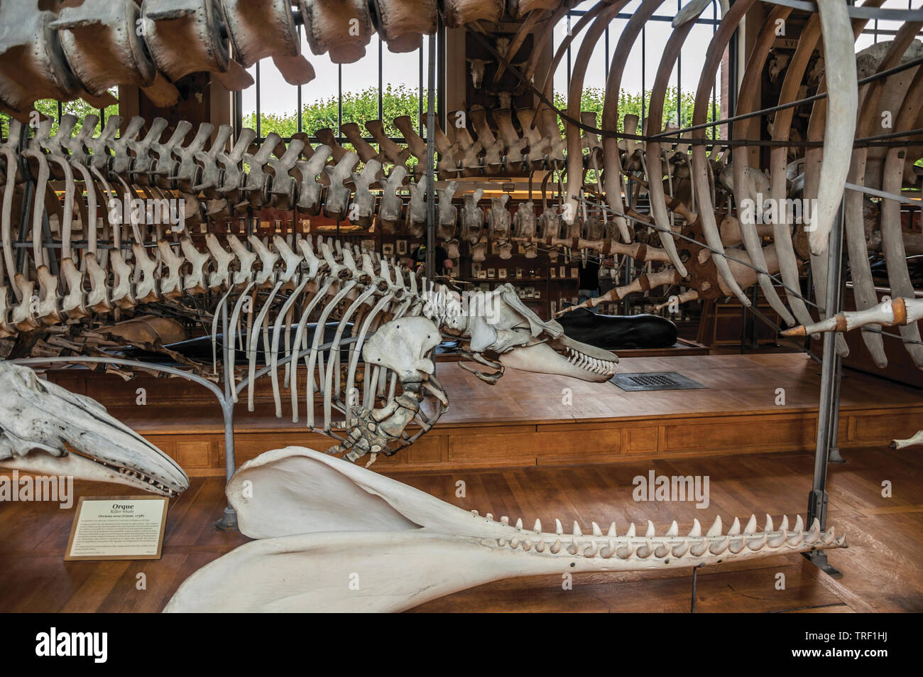 Skeletons of marine mammals in Gallery of Paleontology and Comparative Anatomy at Paris, France. - Stock Image