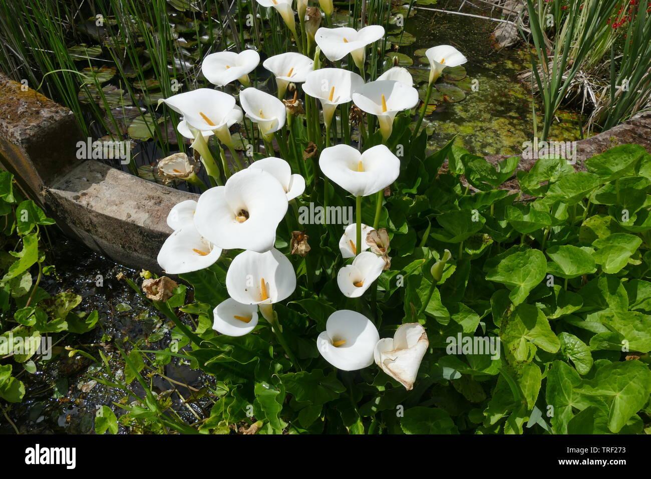 Calla Lily Growing Wild Stock Photo 255413287 Alamy
