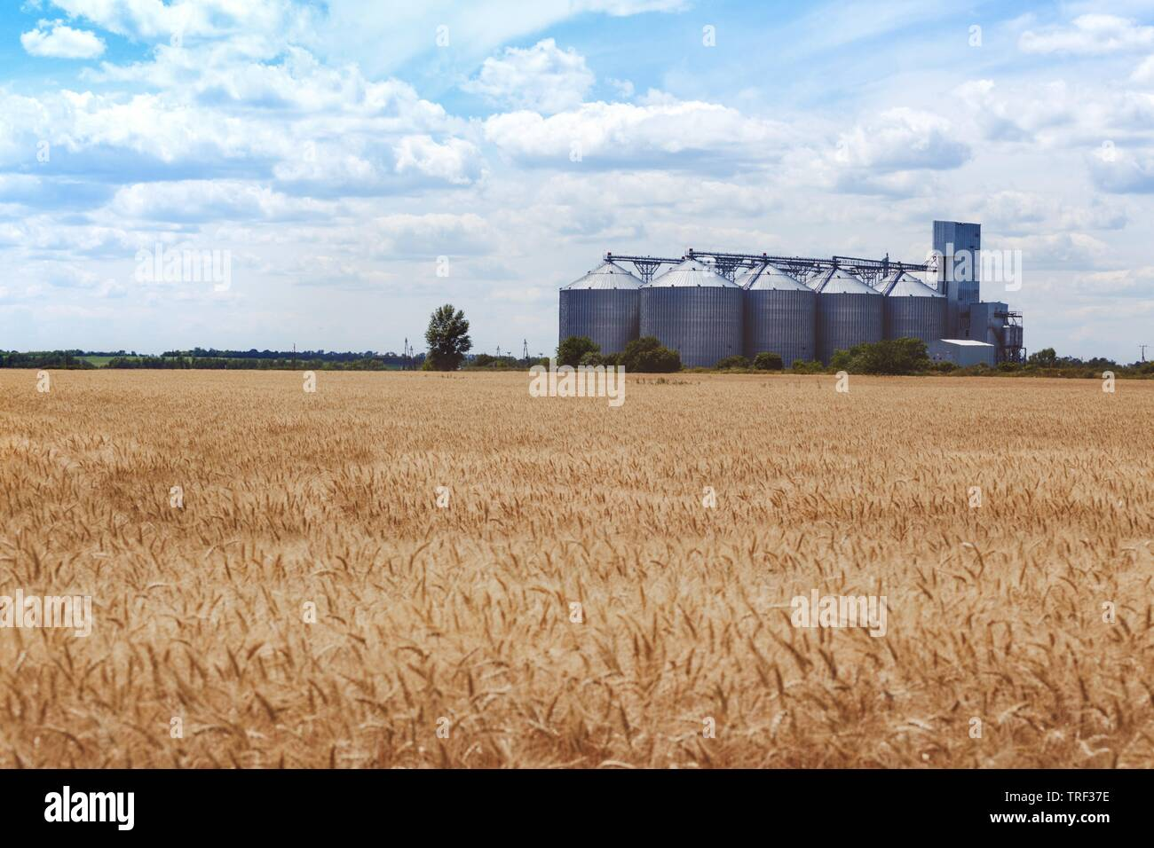 new grain elevator on the background of a wheat field - Stock Image