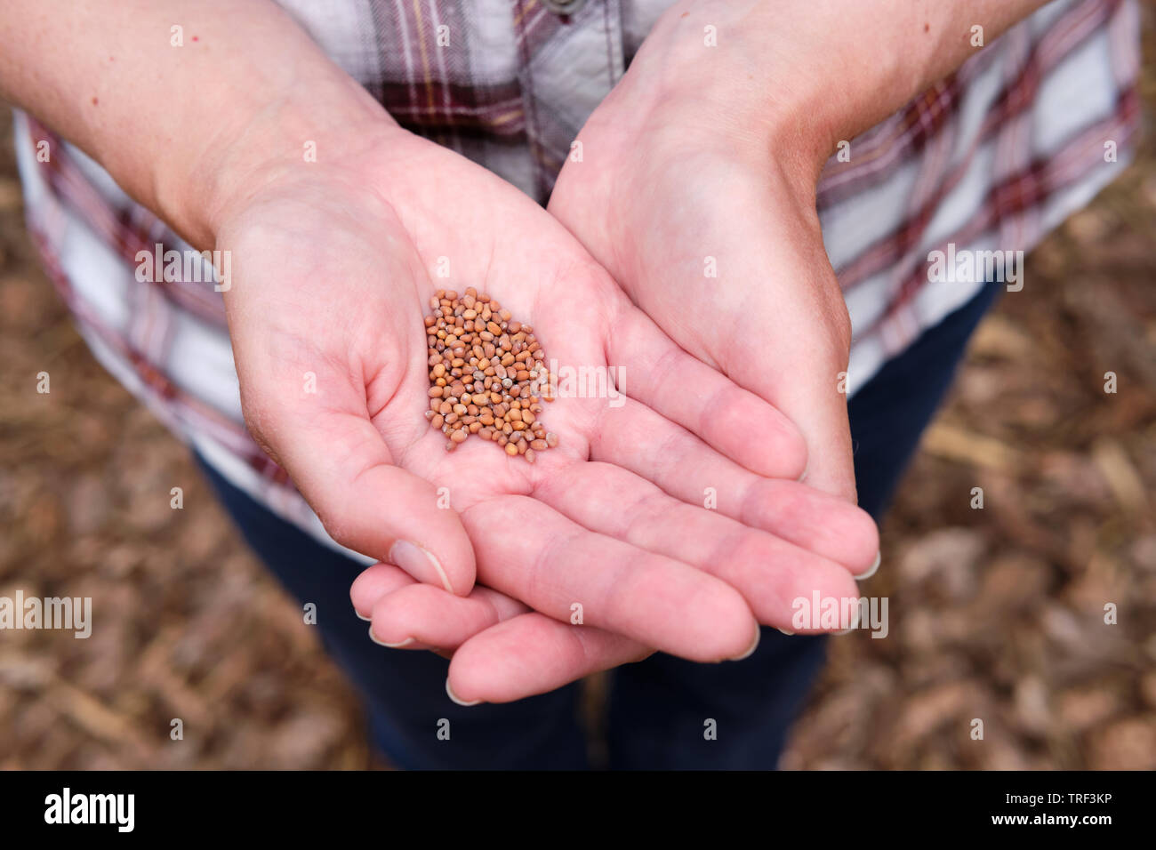 Caucasian woman holding Radish 'Candela di fuoco' plant seeds in open hands. - Stock Image