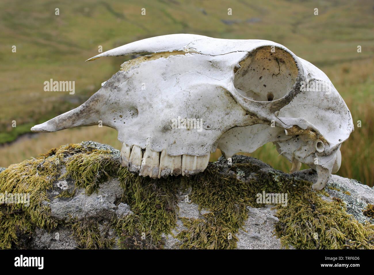 Sheep Skull Stock Photos & Sheep Skull Stock Images - Alamy