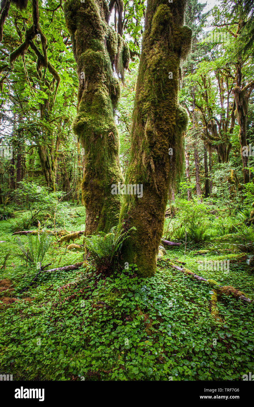 A moss covered tree trunk in the Quinault Rainforest, Olympic National Park, Washington, USA. Stock Photo