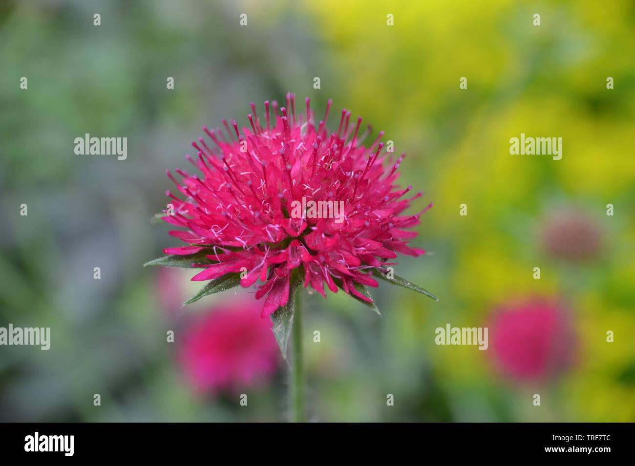Knautia Macedonia, Macedonian scabious - Stock Image