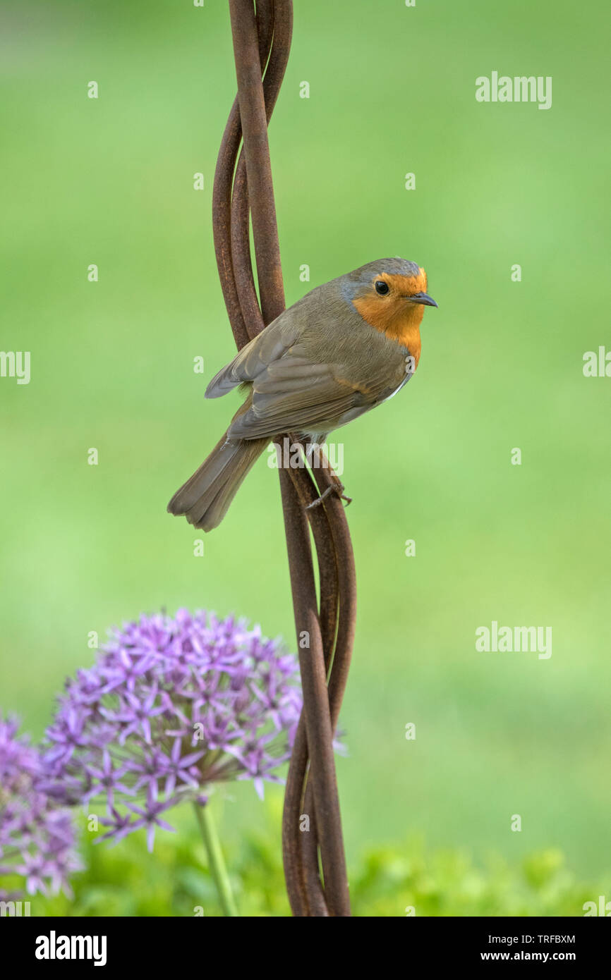 European robin on a garden ornament, England, UK - Stock Image