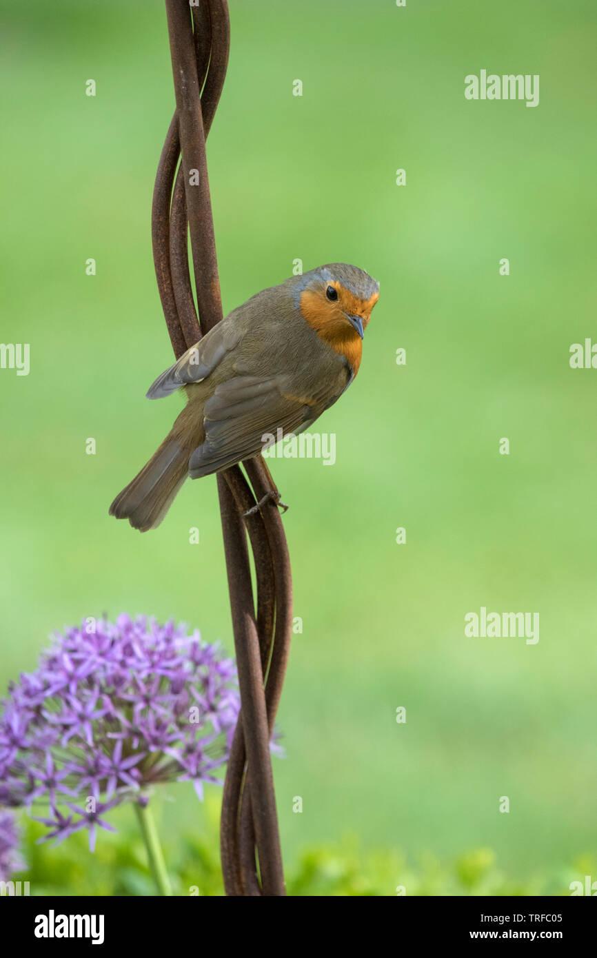 European robin on a garden ornament, England, UK - Stock Image