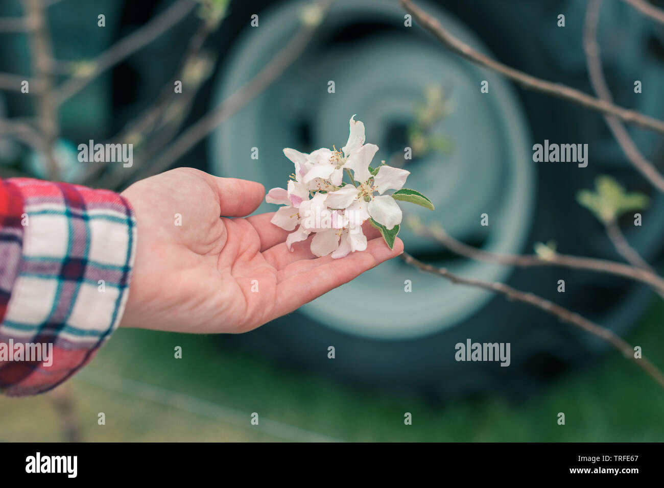 Farmer examining fruit tree blossom in orchard, close up of female hand touching gentle flowers - Stock Image