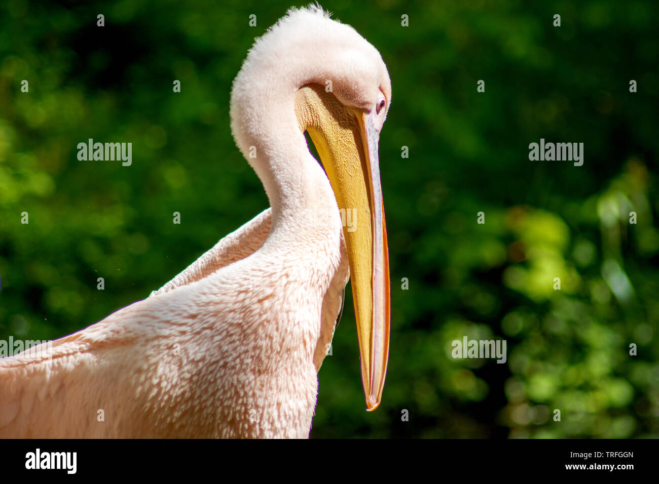The Pelican - Stock Image