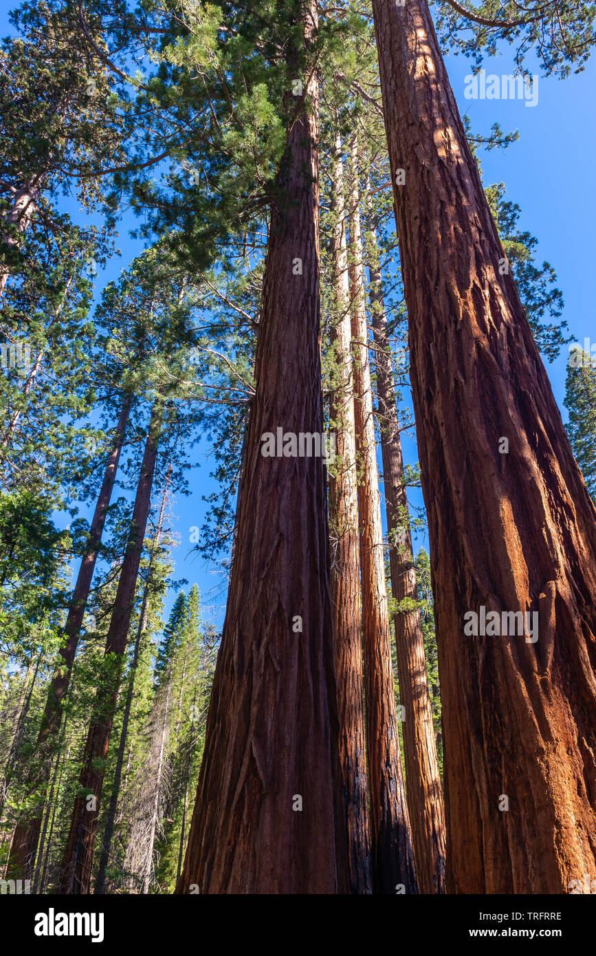 Mariposa Grove, Yosemite National Park, California, USA - Stock Image