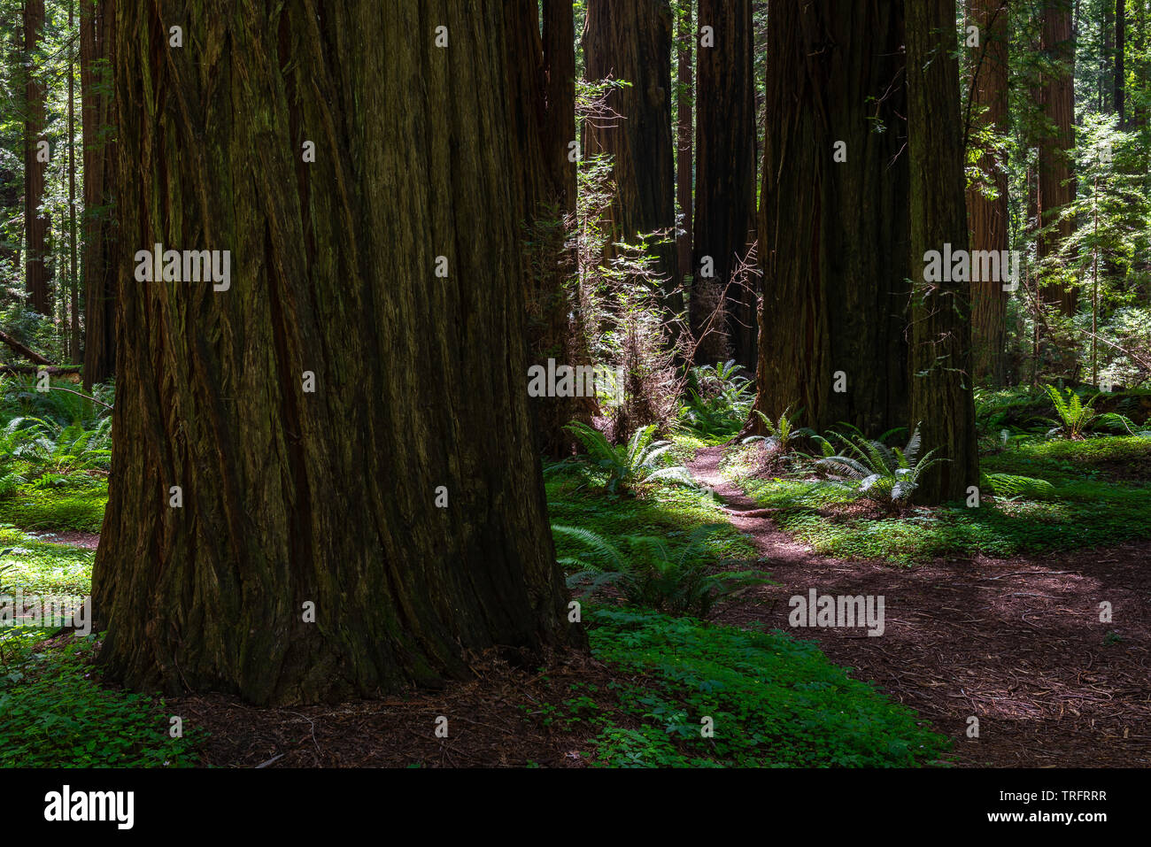 Founder's Grove in Humboldt Redwoods State Park, California, USA - Stock Image