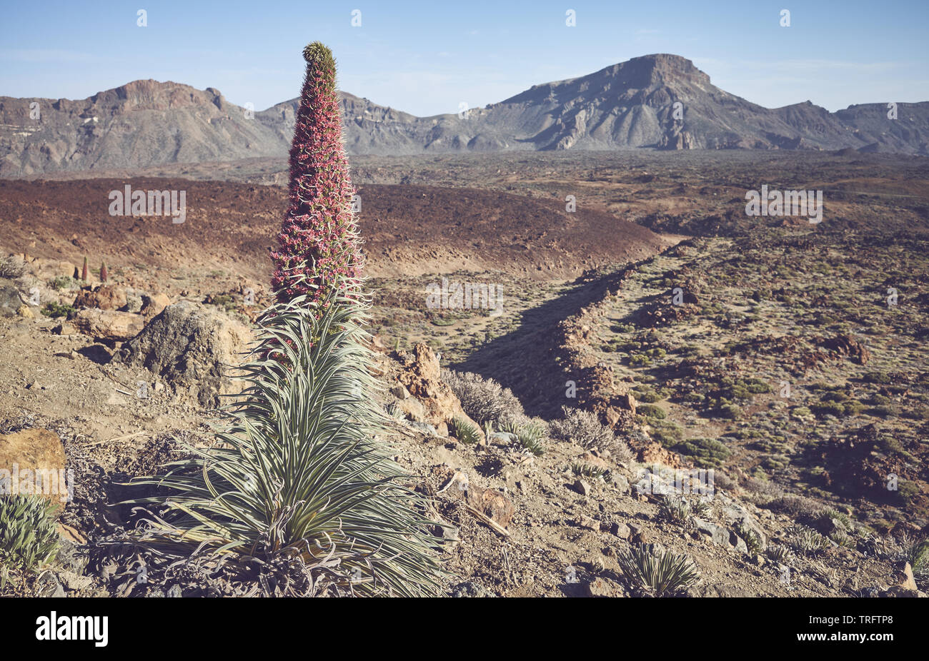 Retro toned picture of Teide National Park landscape with Tower of jewels plant, Tenerife, Spain. - Stock Image