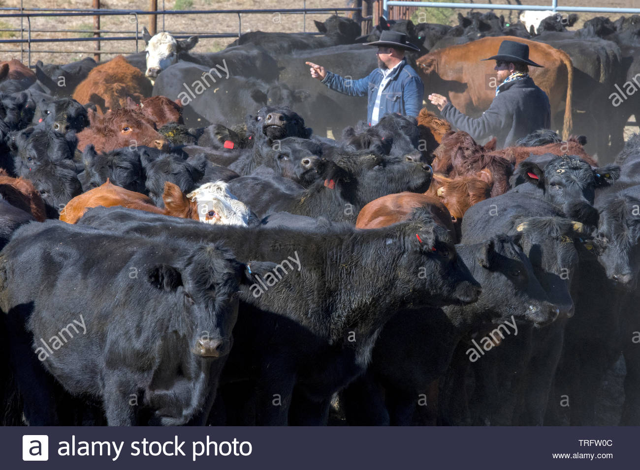 United States, Montana, Belfry, cowboys sorting out cows to be sent out to feeding ranches in Nebraska - Stock Image