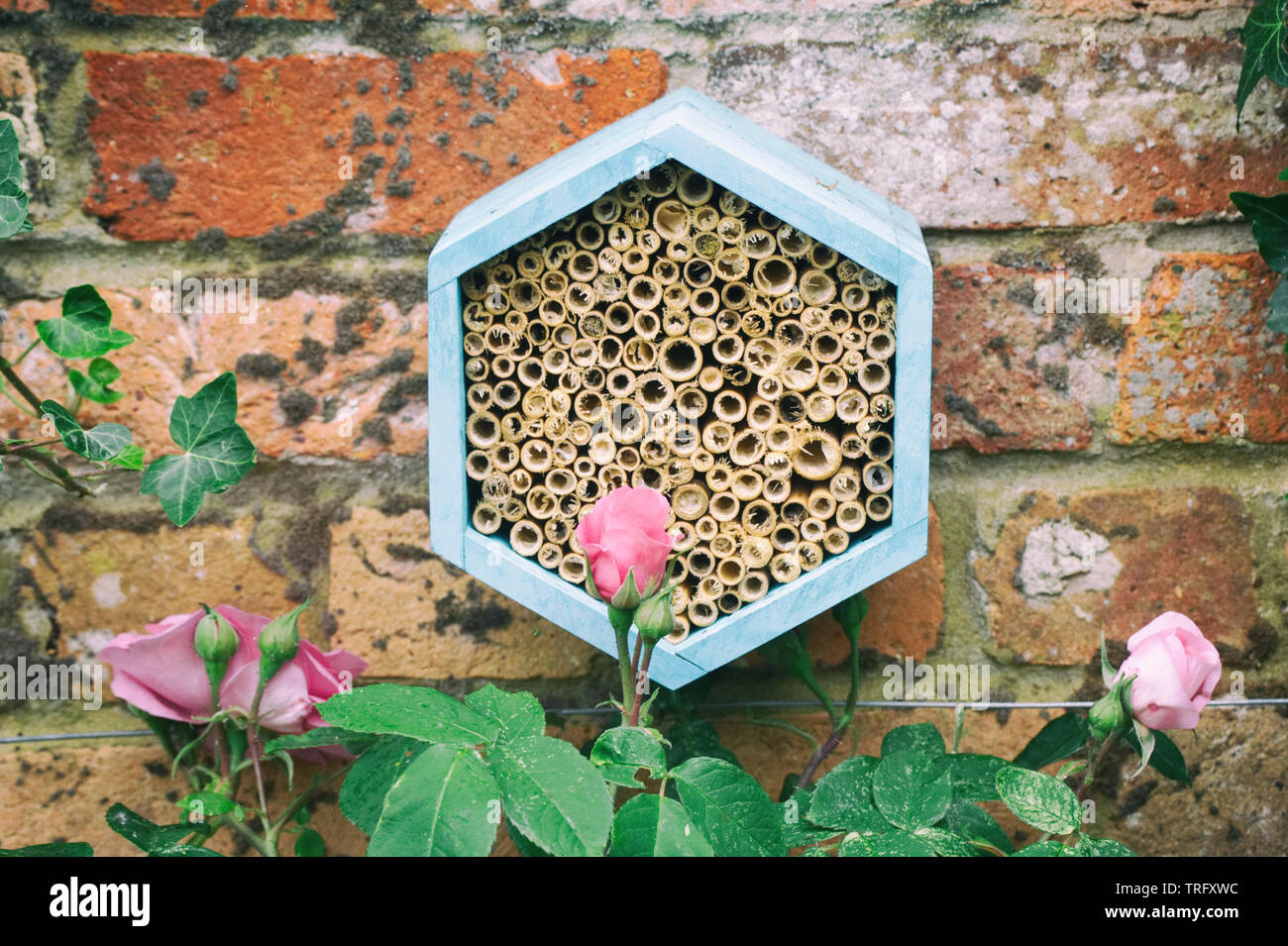 A bee house amongst the roses to encourage beneficial insects into the garden. - Stock Image