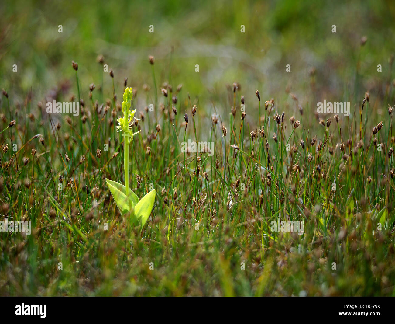 Fen orchid Liparis loeselii subspecies ovata growing in dune slacks at Kenfig Burrows in South Wales Stock Photo